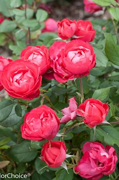 /Images/johnsonnursery/product-images/Rosa Oso Easy Double Red 3_zp1iinq0u.jpg