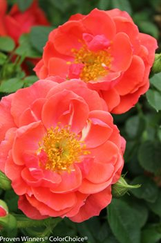 /Images/johnsonnursery/product-images/Rosa Oso Easy Mango Salsa 2_kda8tqsat.jpg