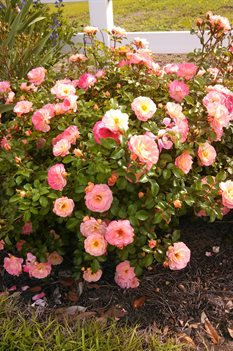 /Images/johnsonnursery/product-images/Rosa Peach Drift051813_mtqwxzmte.jpg