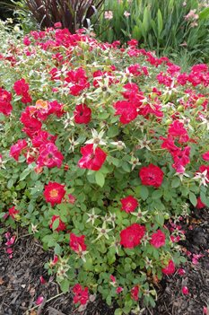 /Images/johnsonnursery/product-images/Rosa Sunrosa Red071413_ni8cs7oa7.jpg
