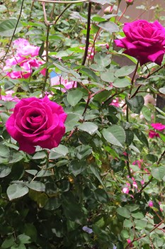 /Images/johnsonnursery/product-images/Rose-Brindabella-Purple-Prince-302-website_kjk2ct0xe.jpg