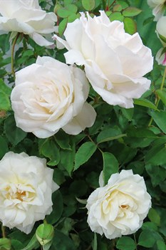 /Images/johnsonnursery/product-images/Rose-Brindabella-Touch-of-Pink-301-website_snlhwt03t.jpg