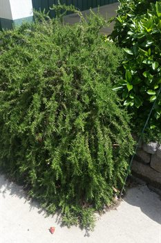 /Images/johnsonnursery/product-images/Rosmarinus Prostrata042916_ujuit0ria.jpg