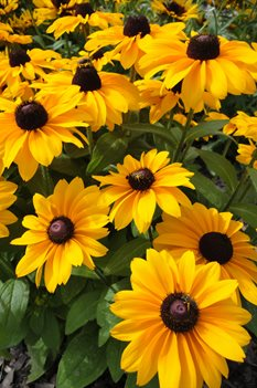 /Images/johnsonnursery/product-images/Rudbeckia TigerEye Gold071413_51semgew1.jpg