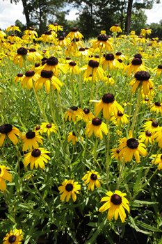 /Images/johnsonnursery/product-images/Rudbeckia Viettes Little Suzy071513_8kp2j9zja.jpg