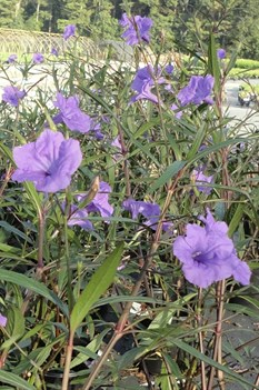 /Images/johnsonnursery/product-images/Ruellia Purple Showers3090613_a6qfdqqpg.jpg