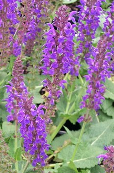 /Images/johnsonnursery/product-images/Salvia May Night2052200_p2he57km7.jpg