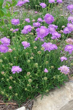 /Images/johnsonnursery/product-images/Scabiosa Butterfly Blue041803_n7kdmwdq4.jpg
