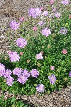 /Images/johnsonnursery/product-images/Scabiosa Harlequin Blue3051806_akl100msn.jpg
