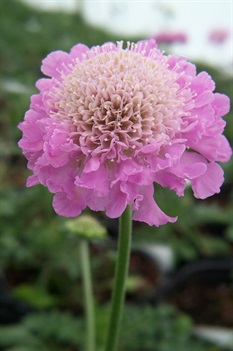 /Images/johnsonnursery/product-images/Scabiosa Pink Mist2022007_g73nz20cw.jpg