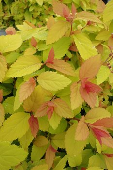 /Images/johnsonnursery/product-images/Spiraea Double Play Big Bang050713_xk68xnzht.jpg
