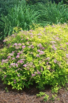 /Images/johnsonnursery/product-images/Spiraea Goldmound3051606_tmkr81d7w.jpg