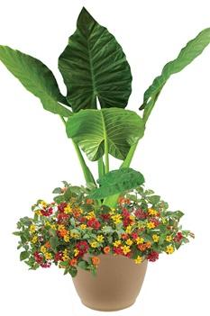 /Images/johnsonnursery/product-images/Summer-Breeze-combo-planter2-website_4ihnilfcx.jpg