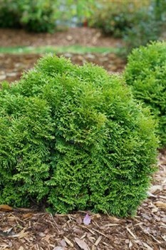 /Images/johnsonnursery/product-images/Thuja Tiny Tot_wutd2xd55.jpg