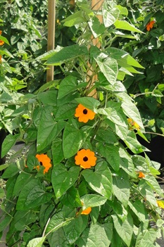 /Images/johnsonnursery/product-images/Thunbergia Orange Wonder_kmkqzp6mn.jpg