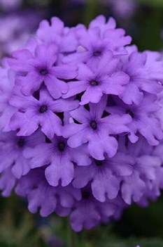 /Images/johnsonnursery/product-images/Verbena EnduraScape Blue_6qk4zoia1.jpg