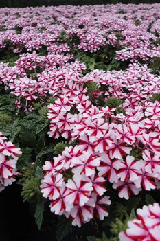 /Images/johnsonnursery/product-images/Verbena Lanai Candy Cane5050113_0pzaaafdc.jpg