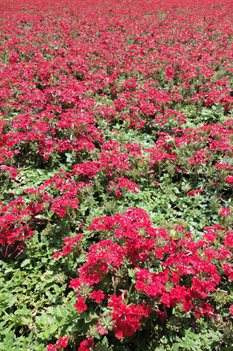 /Images/johnsonnursery/product-images/Verbena Lanai Red062613_ne21erdj7.jpg