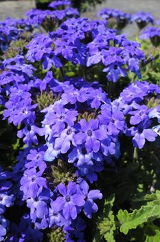 /Images/johnsonnursery/product-images/Verbena Royale Chambrey051713_cthwtcplb.jpg