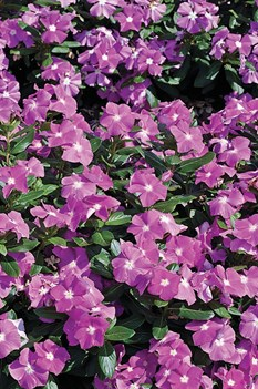/Images/johnsonnursery/product-images/Vinca Cora Deep Lavender_gomt1f121.jpg
