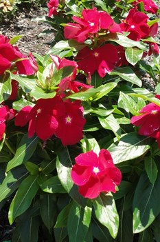 /Images/johnsonnursery/product-images/Vinca Cora Red062712_25zjt9t98.jpg