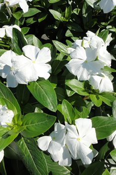 /Images/johnsonnursery/product-images/Vinca Cora White2061213_ttsq9qsqo.jpg