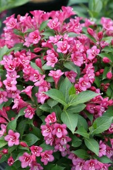 /Images/johnsonnursery/product-images/Weigela Snippet Dark Pink_1q7dkd5jn.jpg