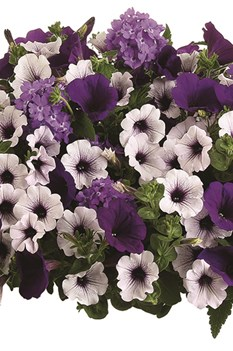 /Images/johnsonnursery/product-images/lilac_festival_hb_website_8oiaevzaq.jpg