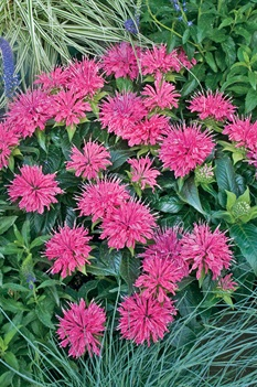 /Images/johnsonnursery/product-images/monarda_pardon_my_pink_0_wqfq2u1ir.jpg