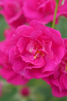 /Images/johnsonnursery/product-images/rosa_oso_easy_pleasy_3_website_zpzudega4.jpg