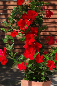 /Images/johnsonnursery/product-images/sun-parasol-mandevilla-giant-Red-Emperor-3_76t6gkkc0.jpg
