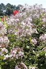 /Images/johnsonnursery/Products/Annuals/Cleome_Senorita_Blanca_-_PW_6-27-12_031.JPG