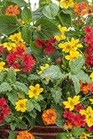 /Images/johnsonnursery/Products/Annuals/MXDSMB.jpg