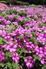 /Images/johnsonnursery/Products/Annuals/Petunia_Supertunia_Raspberry_Blast_-_PW__6-27-12_105.JPG