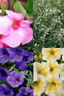 /Images/johnsonnursery/Products/Annuals/_9_Mandevilla.jpg