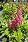 /Images/johnsonnursery/Products/Perennials/Astilbe_Short_N_Sweet_Fireberry_for_web.jpg