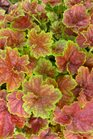 /Images/johnsonnursery/Products/Perennials/H__Miracle_-_PW_-_for_web.bmp