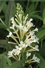 /Images/johnsonnursery/Products/Woodies/Buddleia_Flutterby_Petite_Snow_White_-_Ball.jpg