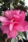 /Images/johnsonnursery/Products/Woodies/Camellia_William_Lanier_Hunt_for_web.jpg