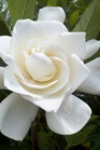 /Images/johnsonnursery/Products/Woodies/Gardenia_Summer_Snow_for_web_051612.JPG
