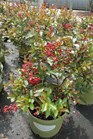/Images/johnsonnursery/Products/Woodies/Lagerstroemia_Red_Rooster_for_web.jpg