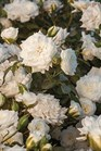 /Images/johnsonnursery/Products/Woodies/ROSWHD_-_Starroses.jpg