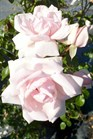 /Images/johnsonnursery/Products/Woodies/Rosa_New_Dawn_for_web.jpg