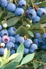 /Images/johnsonnursery/Products/Woodies/Vaccineum_Sunshine_Blue.jpg