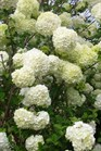 /Images/johnsonnursery/Products/Woodies/Viburnum_macro__Sterile_040501_for_web.jpg