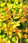 /Images/johnsonnursery/product-images/Abelia Canyon Creek070306_o4so211vb.jpg