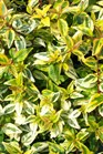 /Images/johnsonnursery/product-images/Abelia Kaleidoscope070306_p2lxmlno1.jpg