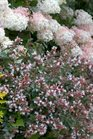 /Images/johnsonnursery/product-images/Abelia Ruby Anniversary_t7zkm50ce.jpg