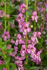 /Images/johnsonnursery/product-images/Angelonia Angelface Super Pink_t9jfqd6is.jpg