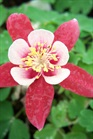 /Images/johnsonnursery/product-images/Aquilegia Origami Red and White2032408_vlweza2jp.jpg